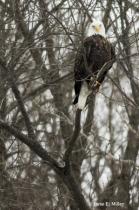 Eagle on Guard!