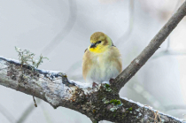 Yellow Finch in First Snow Fall