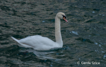 Mute Swan in Winter at Harbourfront, Toronto