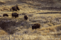 Bison in the evening glow