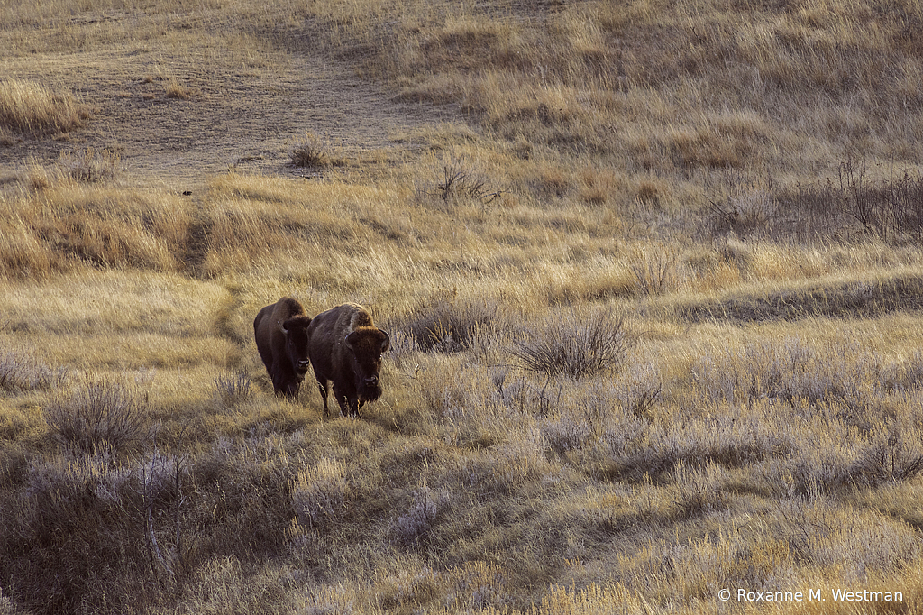 Evening glow on bison in the badlands - ID: 15879901 © Roxanne M. Westman