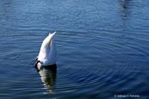 Half Swan