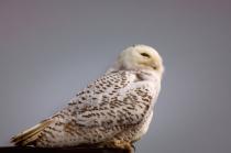 Snowy Owl was Lost