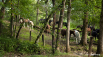 Smoky Mountains, Cades Cove Horses