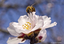Bee of the Blossom Trail