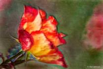 Artistic Fall Rose 10-9-20 101