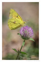 Sulfur Butterfly on Wild Clover