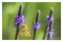 Sulfur Butterfly in the Wildflower Patch