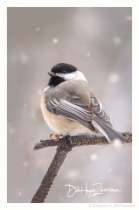 Snowy Lil Birds-Chickadee