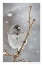 Snowy Lil Birds- Dark Eyed Junco