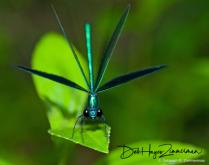 DamselflyCalopteryxmaculataabouttoliftoff