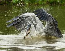 heron in brazil