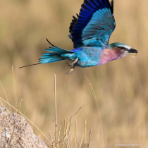 Lilac-Breasted Roller in flight, Africa, Serengeti