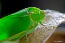 North America Grasshopper