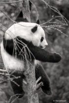 Black and White Panda Up a Tree 4-9-19 078