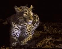 Lit Leopard  8005