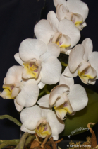 My blooming White Orchid