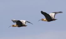 Andean Ibis Pair