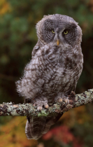 Baby Great Gray Owl