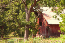behind the Old Walnut Tree