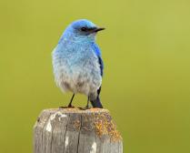The Mountain Bluebird