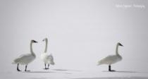 ~ Swan Sisters ~
