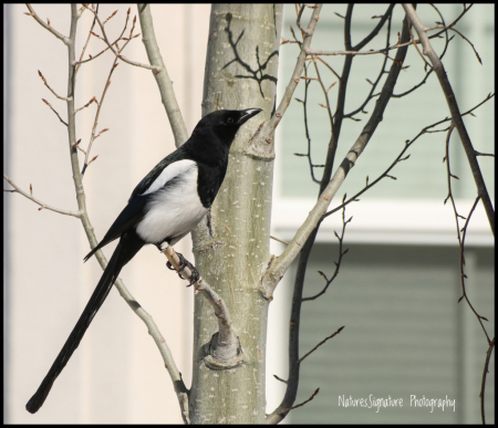 ~ Morning Magpie ~