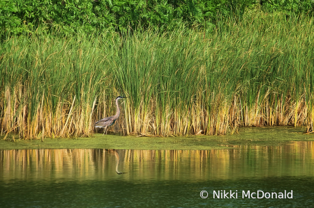 Reeds, Reflection, and Heron