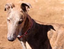 Greyhound ears 2