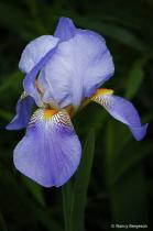 The Iris ~ 25th Anniversary Flower