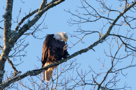 Bald Eagle Itch
