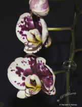 Purple & White Orchid in bloom...