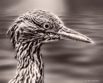 Black-crowned Night-heron (Juvenile) B&W
