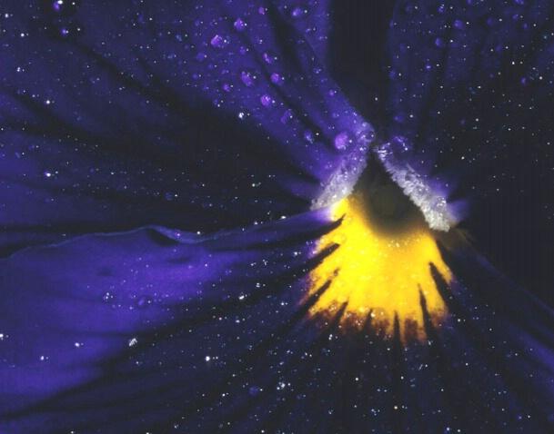 Pansy Galaxy