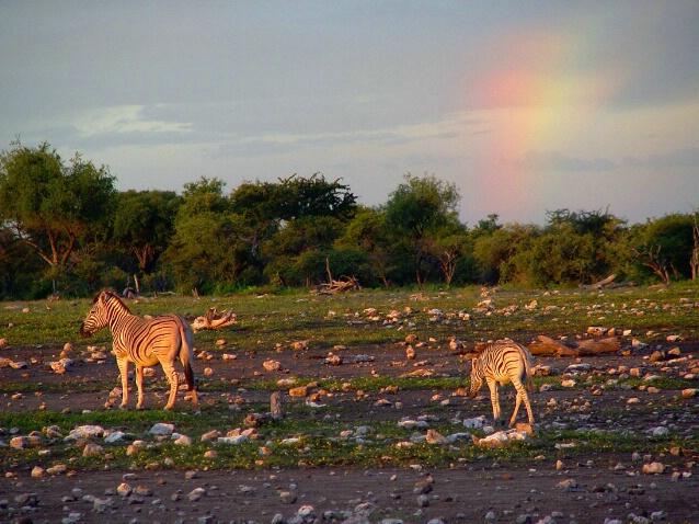 Living-zebras at sunset