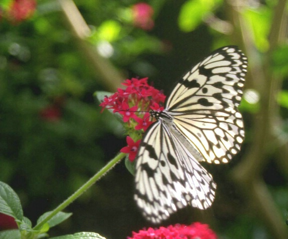 Tree Nymph Butterfly, Idea Leucone