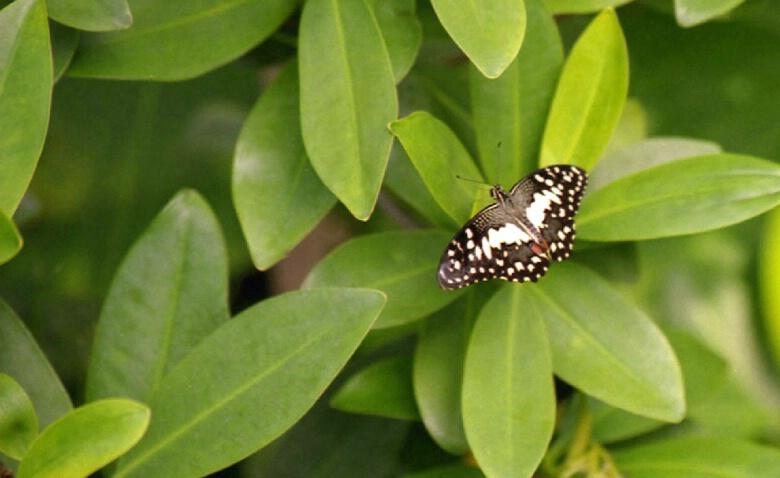 Papilio demoleus Lime Butterfly
