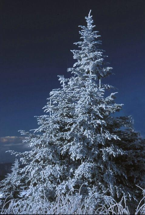 Christmas tree, Mt Mitchell, NC