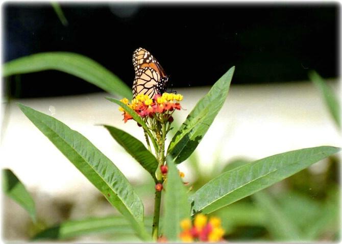Monarch Butterfly Feast