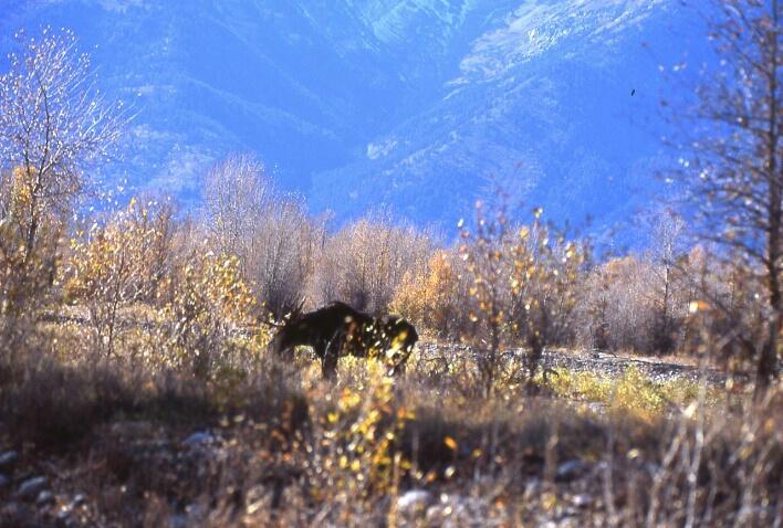 Moose Traveling
