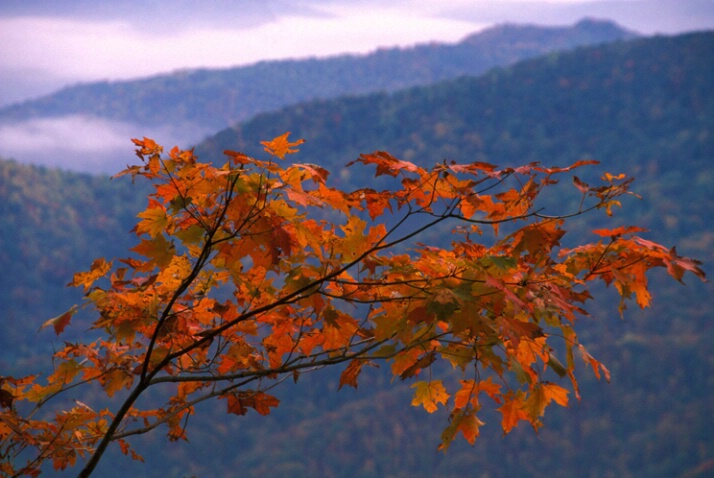 Maple leaves and mountains