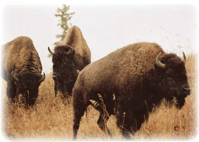 Bison...A Little Too Close