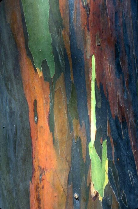 Mindanao Gum Tree Bark