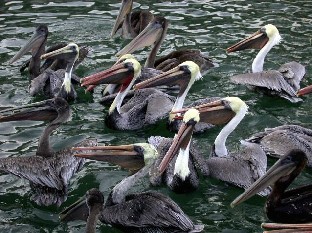 Pelican Dinner Party