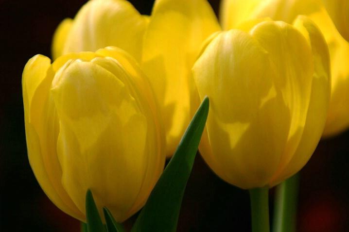 hug a tulip
