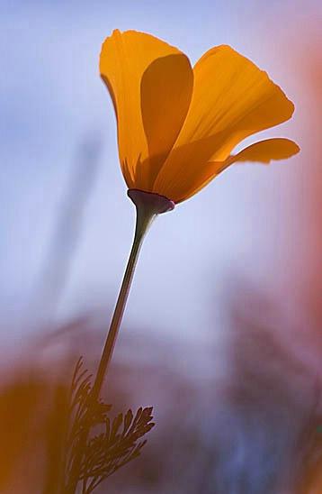 Poppy on the Central Coast