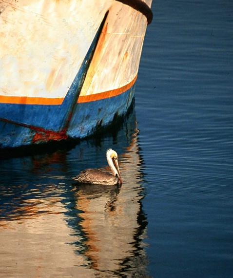 San Felipe Pelican, Baja Calif.