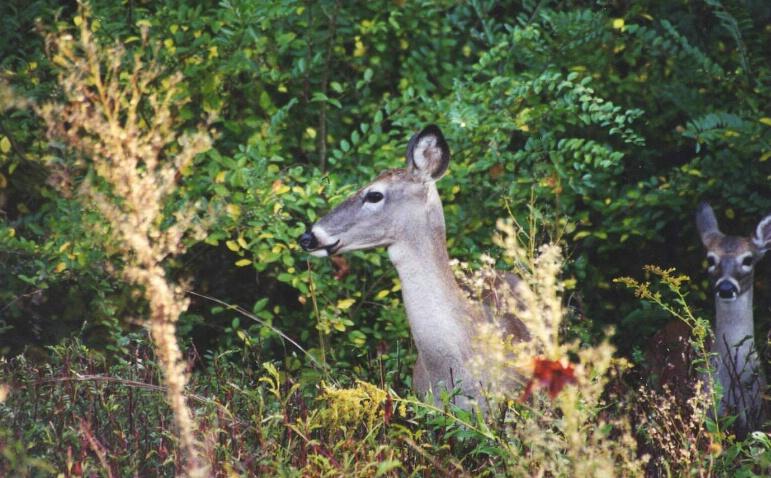 Deer Searching