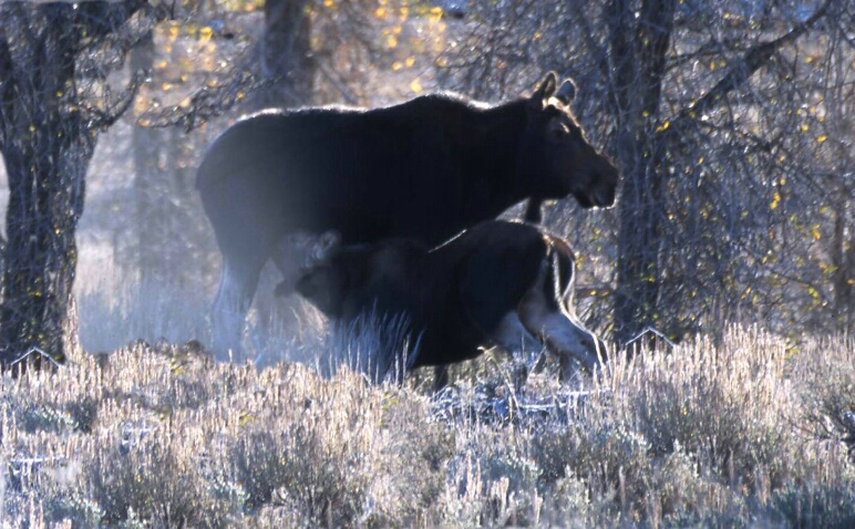 Moose Mom & Baby