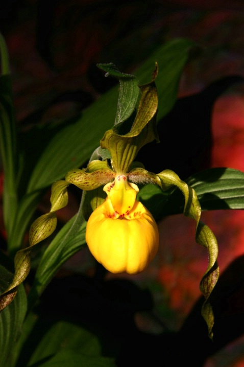 Yellow Lady Slipper..front view